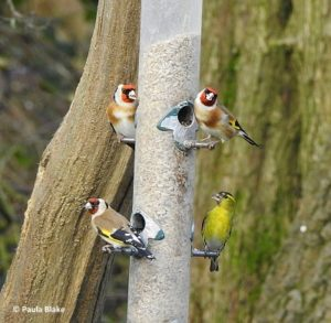 Goldfinches on feeder