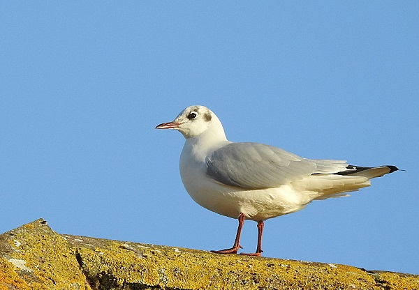 Black Headed Gull in Winter