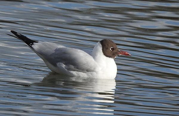 Black Headed Gull in Summer