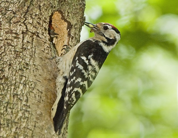 Lersser Spotted Woodpecker